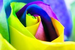 Multicolored very beautiful rose. Rose Bud close-up. Rainbow ros. Colorful beautiful rose. Rose Bud close-up. Rainbow rose. Horizontal photo Royalty Free Stock Image