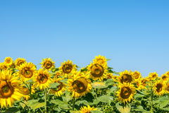 Colorful, beautiful sunflower heads in warm summer day Stock Image
