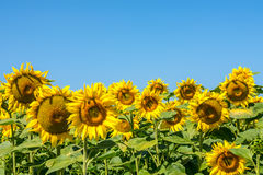 Colorful, beautiful sunflower heads in warm summer day Stock Photo
