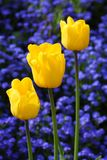 Colorful beautiful tulips Royalty Free Stock Photos