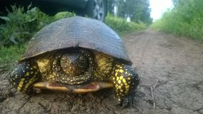 Turtle beautiful walking on the road. Colorful beautiful turtle walks on the road only forward and not a step back Royalty Free Stock Images