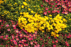 Colorful bed of flowers. Blooming spring flowers in a park Royalty Free Stock Photography