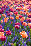 Colorful bed of tulips and hyacinths Royalty Free Stock Photo