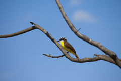 Colorful bee eater with blue sky Stock Photography