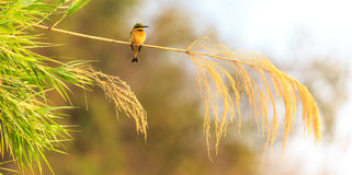 Colorful bee eater sitting on a branch Royalty Free Stock Photos