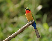 Colorful Bee-eater on a twig in green vegetation Royalty Free Stock Image