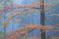 Colorful beech tree in autumn forest Royalty Free Stock Image
