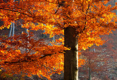 Colorful beech tree Royalty Free Stock Photos