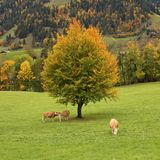 Colorful beech tree and grazing cows Royalty Free Stock Photo