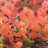 Colorful beech tree leaves Stock Photos