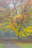 Colorful beechtree and mist in fall Royalty Free Stock Photography