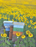 Colorful beehives among sunflowers Stock Image