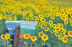 Colorful beehives among sunflowers Royalty Free Stock Photography