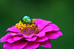 Colorful beetle Royalty Free Stock Images
