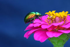 Colorful beetle Stock Photos
