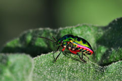 Colorful beetle Royalty Free Stock Photos