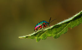 Colorful beetle Royalty Free Stock Photo