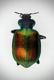 Colorful beetle scarab. Table top photo of Popillia japonica scarab beatle on white background Royalty Free Stock Image