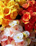 Colorful begonias flowers Royalty Free Stock Images