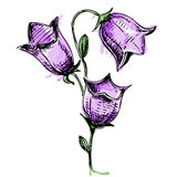 Colorful Bell flower in watercolor style. Sketch illustration Stock Photography