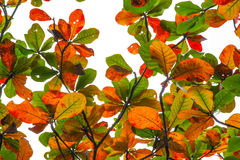 Colorful bengal almond leaves Royalty Free Stock Images