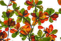 Colorful bengal almond leaves Royalty Free Stock Photography