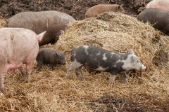 different pigs in the straw royalty free stock image
