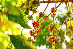 Colorful berries coffee beans ripen under the sun Stock Images