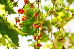 Colorful berries coffee beans ripen under the sun Royalty Free Stock Photo