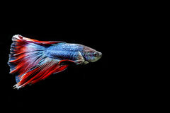 Colorful betta fish isolated on black background Stock Photo