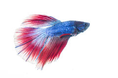 Colorful betta fish isolated on white background Royalty Free Stock Image