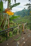A colorful bicycle in front of the rice fields of Tegalalang Terrace. stock photo