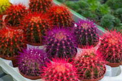 Colorful big cacti Stock Photo