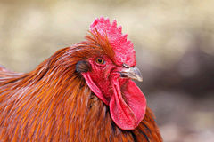 Colorful big rooster chicken animal Royalty Free Stock Image