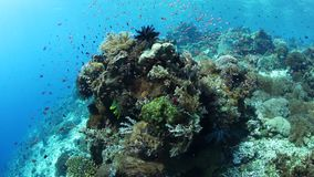 Colorful and biodiverse coral reef in Indonesia. Colorful fish swim above a vibrant coral reef near Alor, Indonesia. This tropical region, part of the Coral stock video