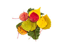 Colorful birch leaves. Pile of colorful birch leaves isolated on white background Stock Photo