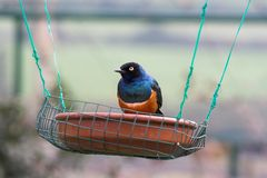 Colorful bird. Lamprospreo suberbus, on a feeder Royalty Free Stock Images