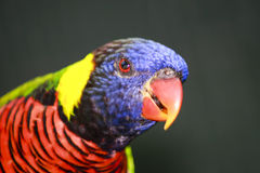 Colorful Bird. With curious interest in the photographer Royalty Free Stock Photo