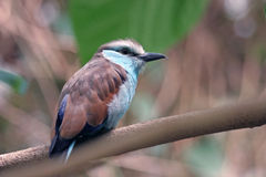 Colorful Bird. Closeup profile of a pretty blue-brown bird Royalty Free Stock Photography