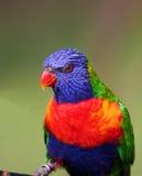 Colorful bird. Rainbow lorikeet stock photo