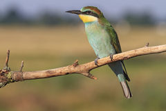 Colorful bird with green feathers and a yellow chin,bee eater Stock Photo