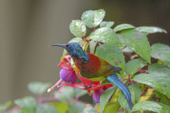 Colorful bird (Green-tailed Sunbird) perching on flower Stock Images