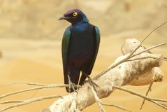 Glossy starling colorful bird. The greater blue eared glossy starling black bird with yellow eyes rests on a branch(Lamprotornis chalybaeus) royalty free stock photos
