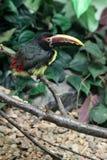 Colorful bird with large beak Royalty Free Stock Photos