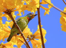 Colorful bird Royalty Free Stock Photos