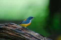 Colorful bird Orange-bellied Flowerpecker stock photography