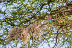 Colorful bird in Tarangire Park, Tanzania Stock Images