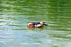 Colorful bird on the water. Colorful bird swimming in the green water Royalty Free Stock Images