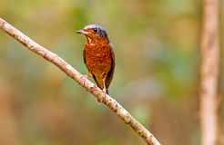 Colorful of bird White-throated Rock Thrush on branch Stock Photo