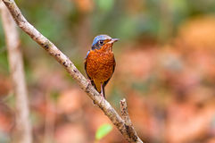 Colorful of bird White-throated Rock Thrush on branch Stock Image